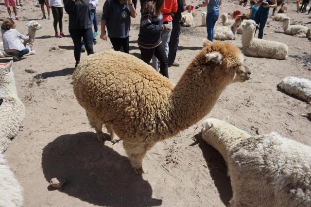 cc brown alpaca