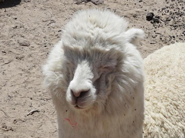 CC llama face