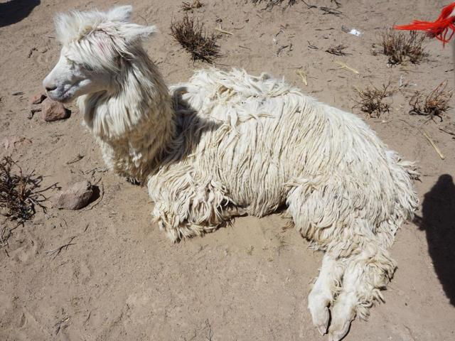 CC shaggy llamaa