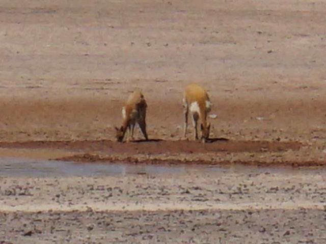CC vicuña water