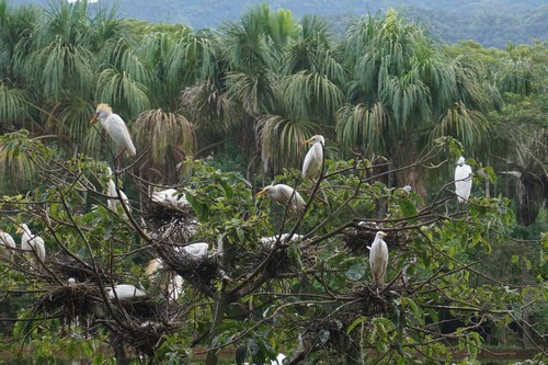 herons-in-tree-moyabamba